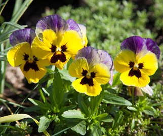 Pansies are the perfect autumn flowers